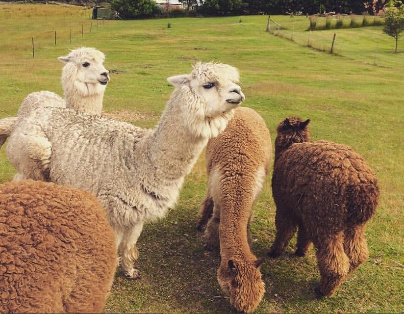 Maydena Derwent Valley Alpacas